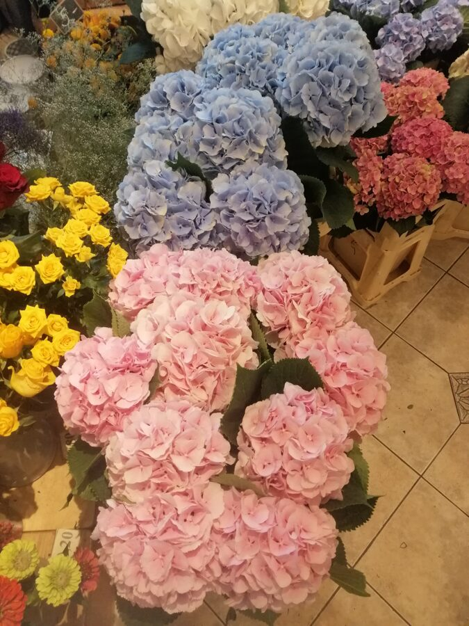 Dažādu krāsu hortenzijas (skaits pēc izvēles)