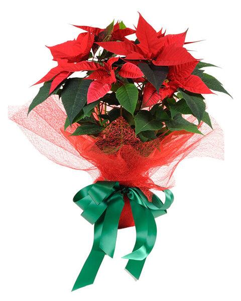Ziemassvētku zvaigzne (Puansetija) ar dekoratīviem elementiem