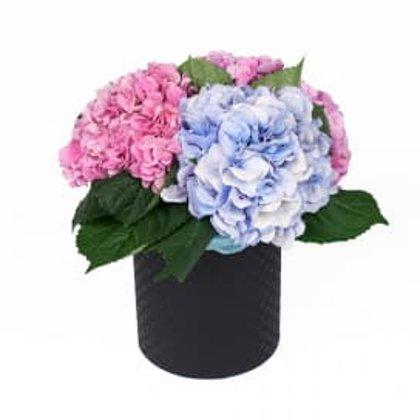 3 hortenzijas apaļā dāvanu kastē