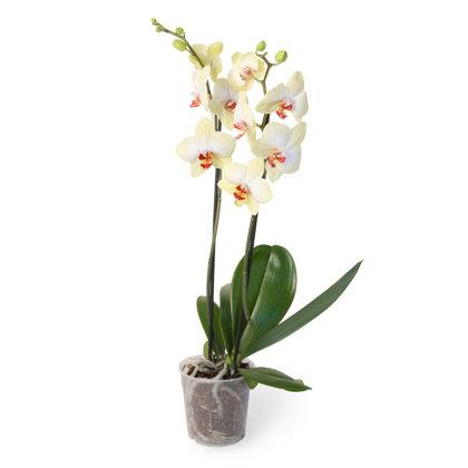 Balta orhideja (pēc izvēles 3 lielumi)
